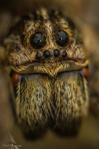 Wolf Spider by Megan Check