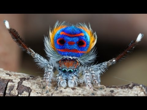 Peacock Spider – Your Next Macro Photography Subject?