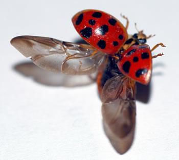 Credit: http://www.ladybug-life-cycle.com