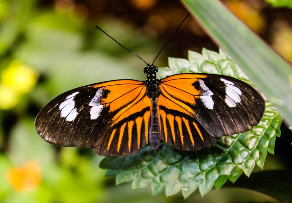 Butterfly (Rochester Butterfly Garden)
