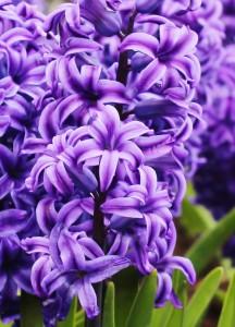 Lilac Garden (Rochester Botanical Gardens)